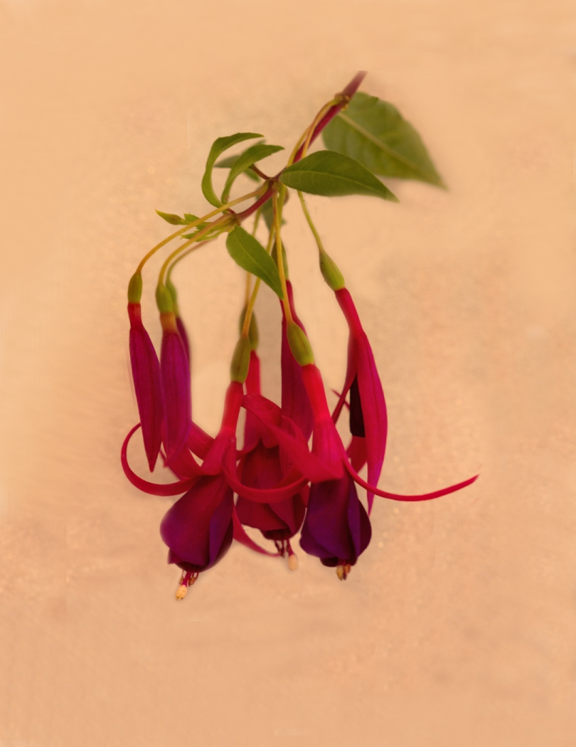 Fuchsia Shirley Betts
