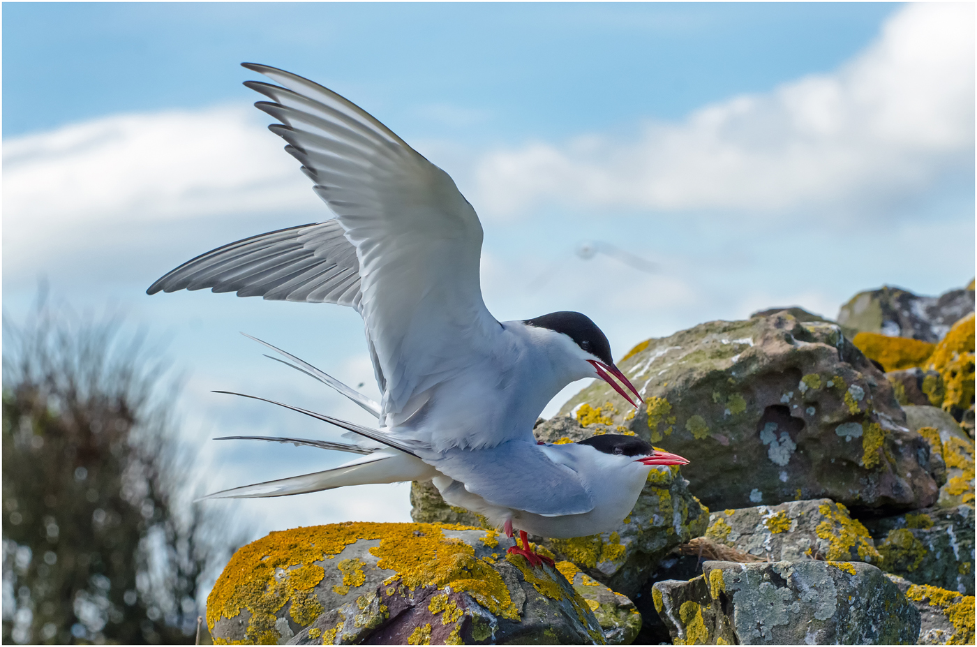 Mating Artic Terns MIck Stainthorpe