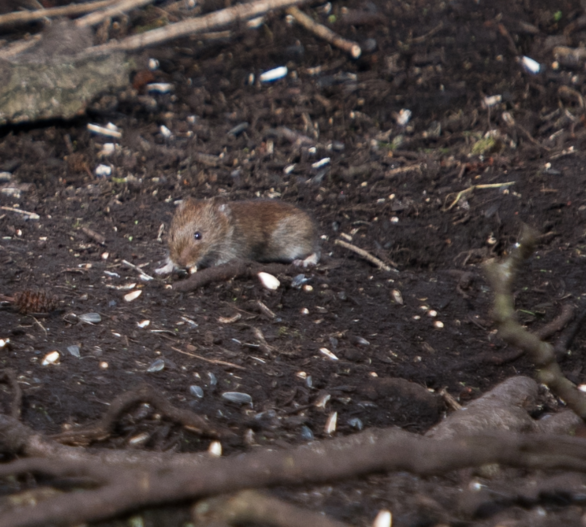 MOUSE EATING SEEDS_Andrew Barnes