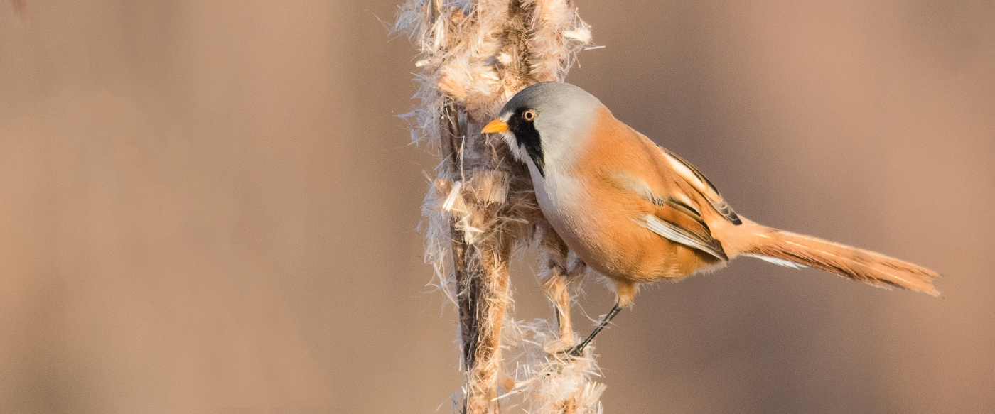 Bearded_Tit_at_Turf_Fen_Andrew_Barrett
