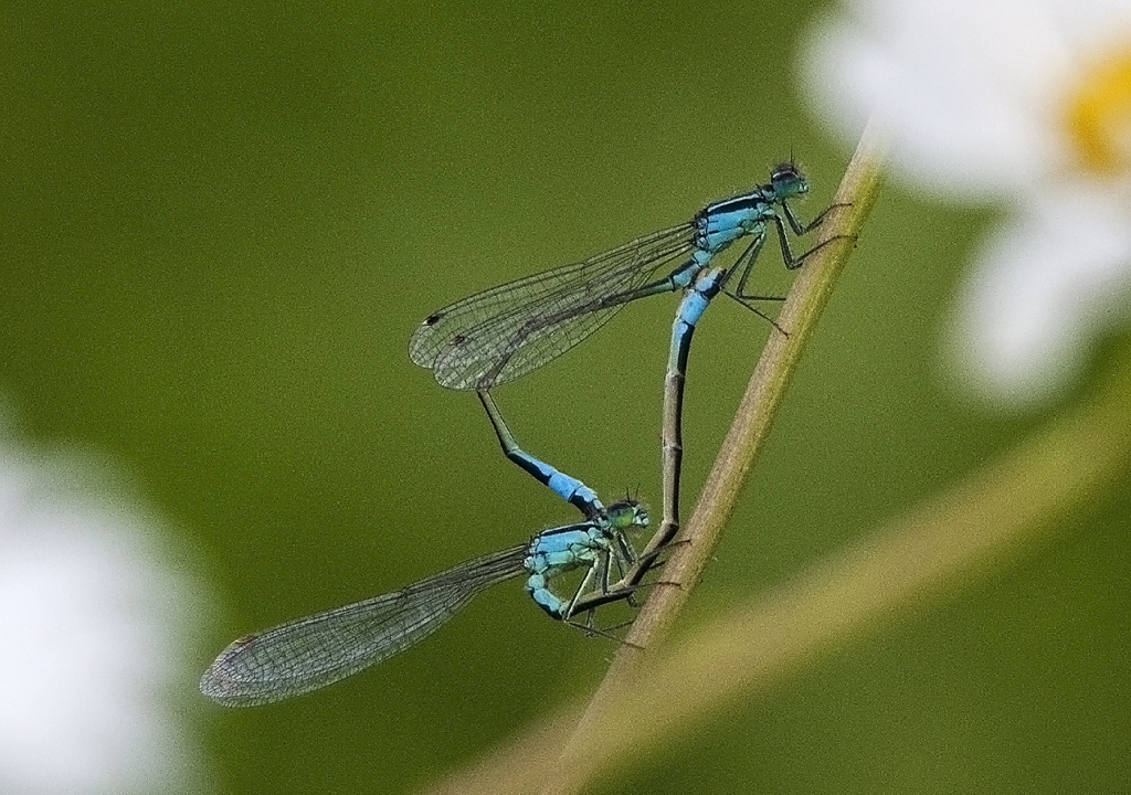 321_ADV_Defined_Mating_Damsel_Flies_Charles_Phillips