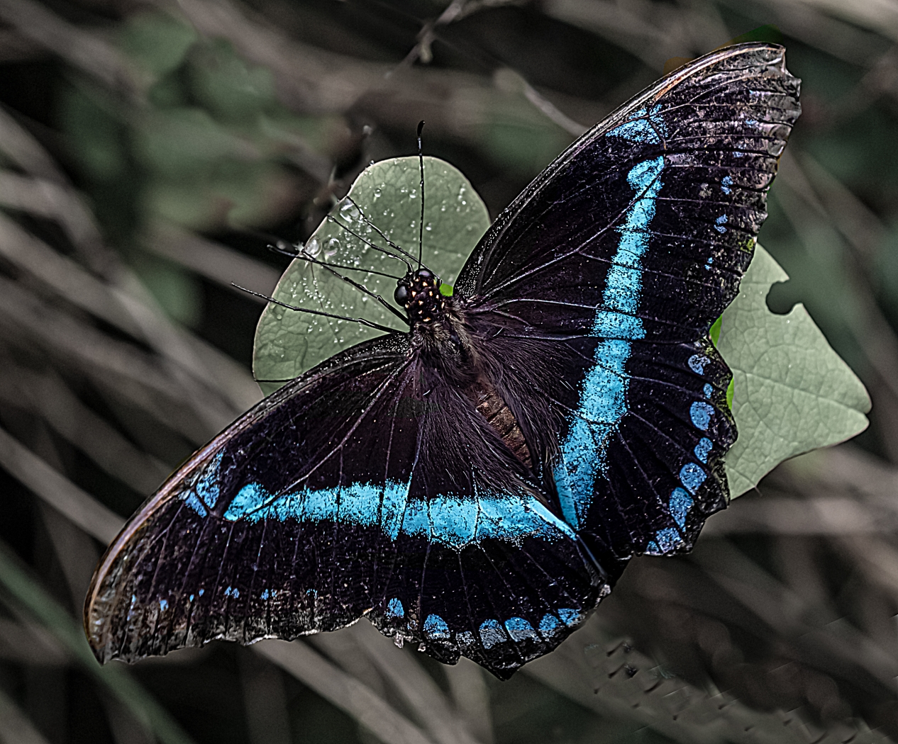 Blue-Banded-Morpho-by-Andy-Mayall