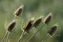 Teasel heads David Mingay