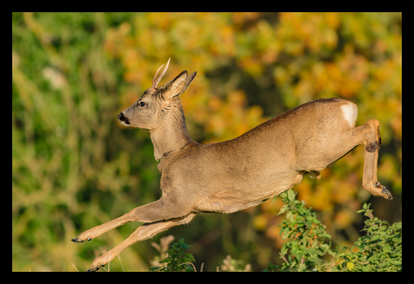 Leaping Deer_Bob Chalmers
